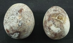 Betel Palm Tree Pearls